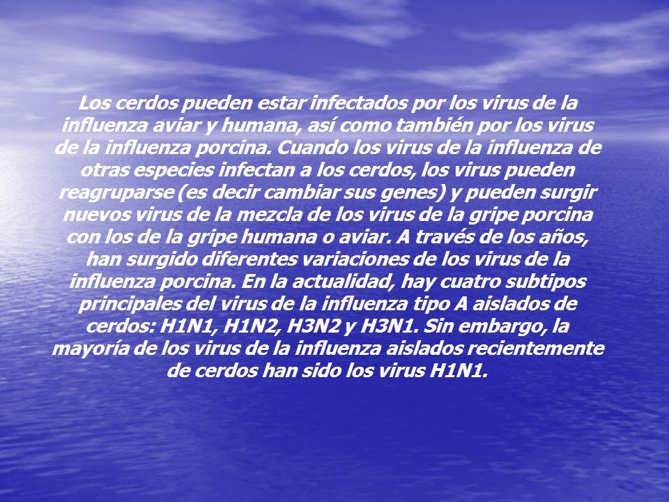 Los cerdos pueden estar infectados por los virus de la influenza aviar y humana, así como también por los virus de la influenza porcina.