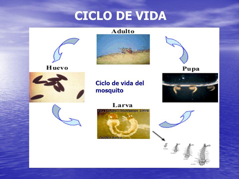 CICLO DE VIDA Ciclo de vida del mosquito