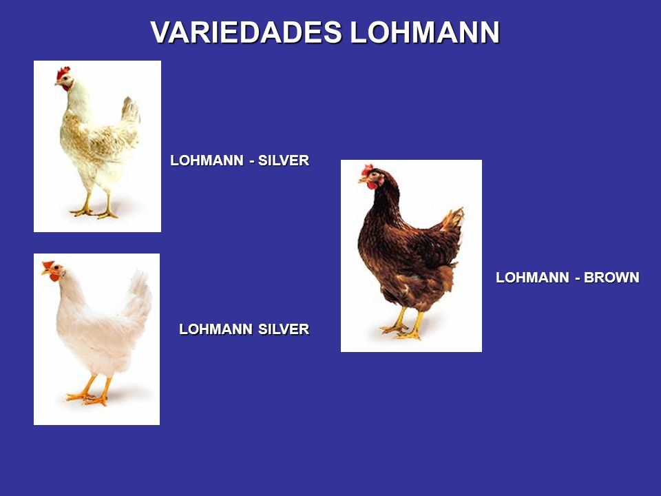 VARIEDADES LOHMANN LOHMANN - SILVER LOHMANN - BROWN LOHMANN SILVER