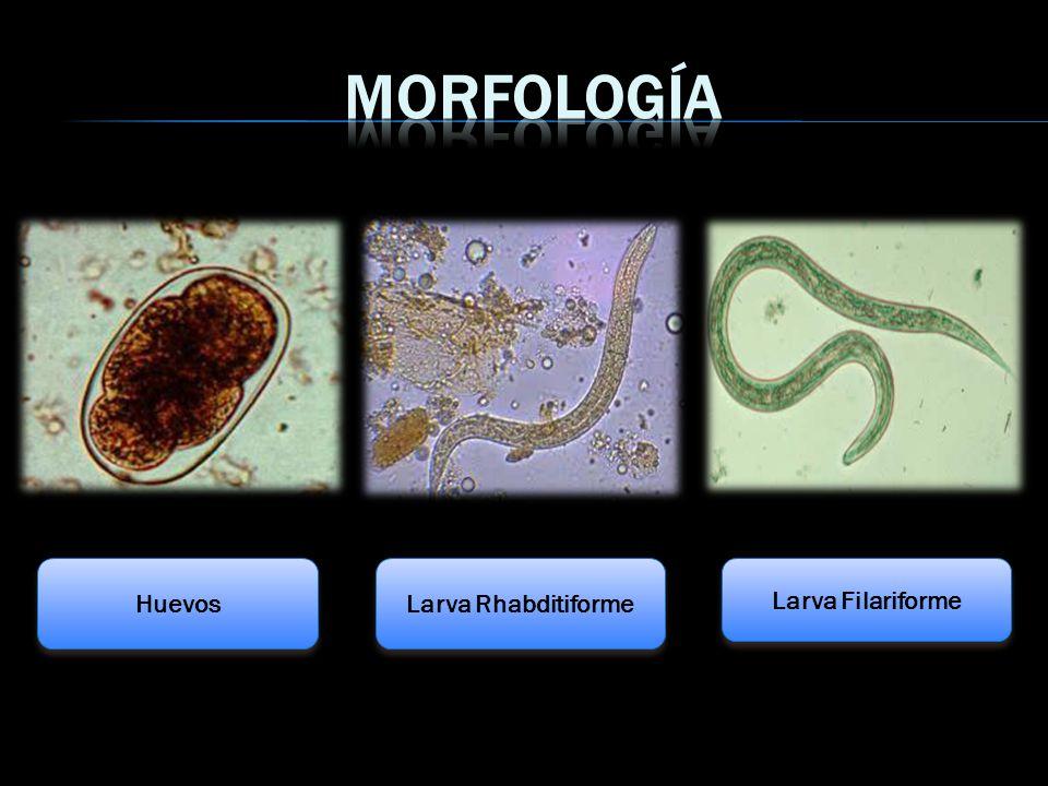 Morfología Huevos Larva Rhabditiforme Larva Filariforme