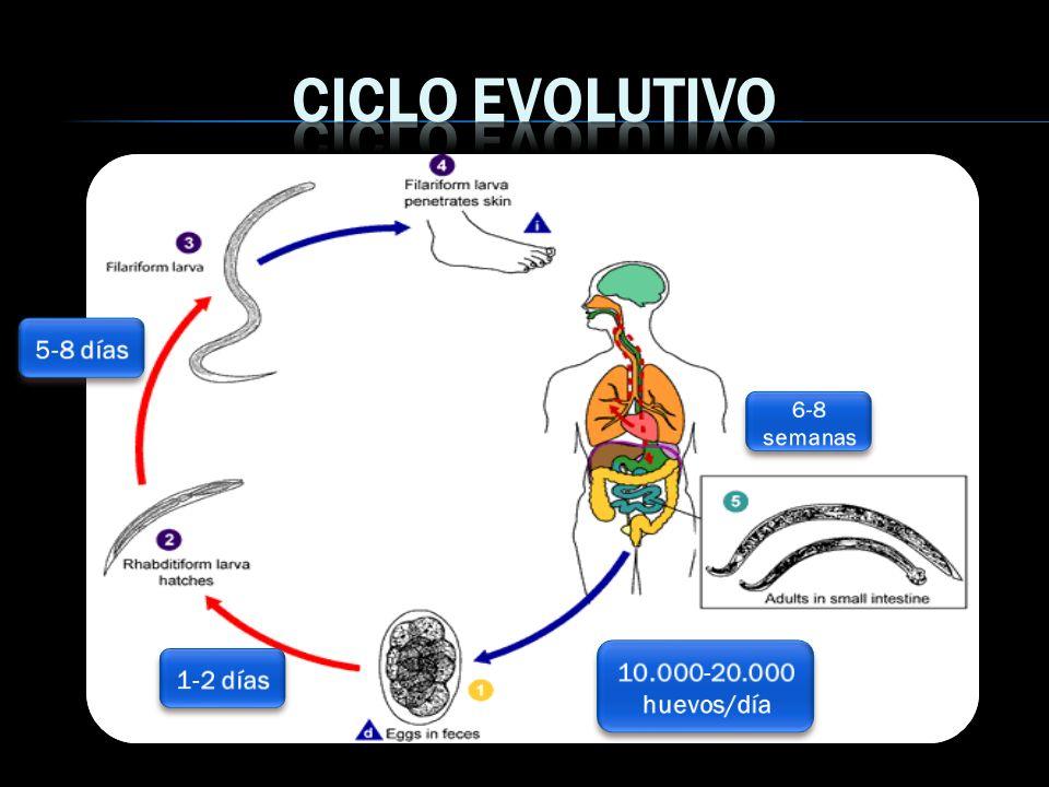 Ciclo evolutivo 5-8 días 6-8 semanas 10.000-20.000 huevos/día 1-2 días