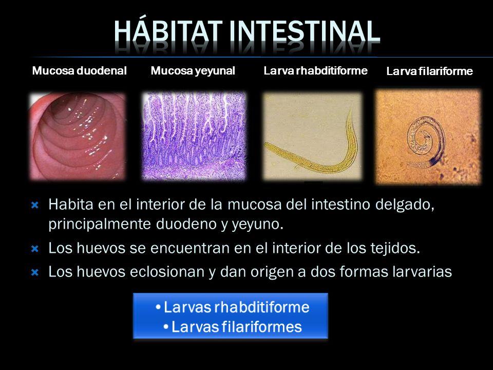 Hábitat intestinal Mucosa duodenal. Mucosa yeyunal. Larva rhabditiforme. Larva filariforme.