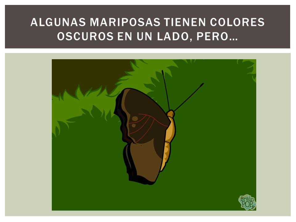 Algunas mariposas tienen colores oscuros en un lado, pero…