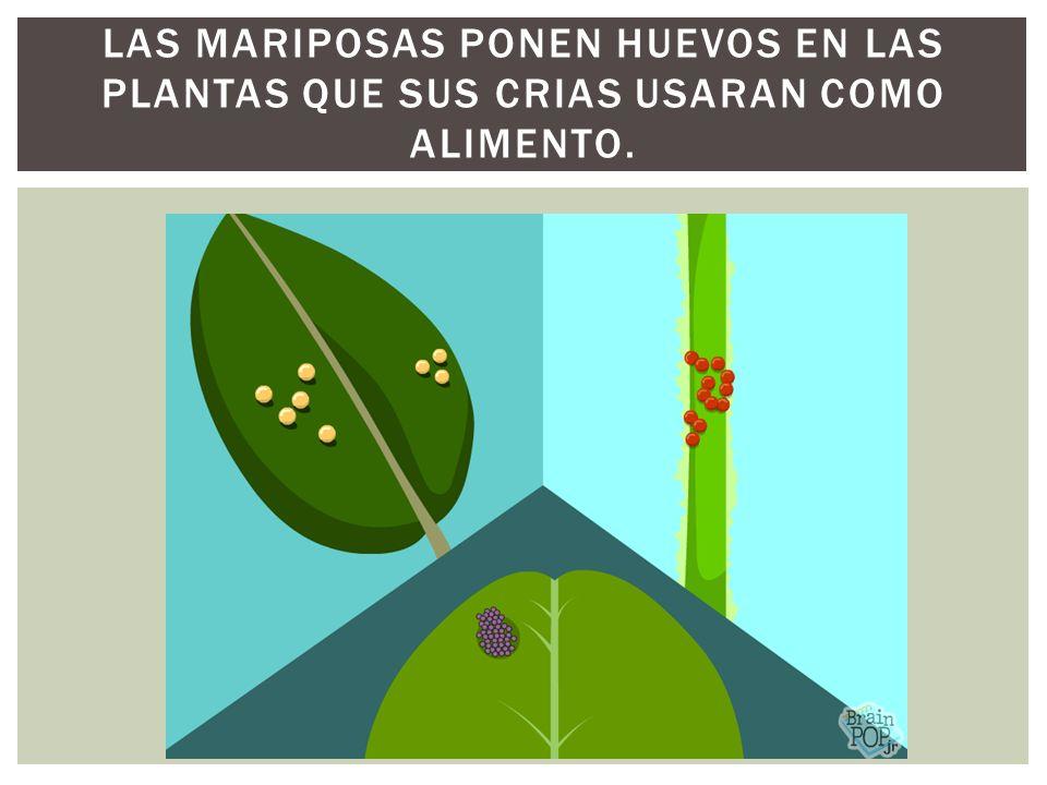 Las mariposas ponen huevos en las plantas que sus crias usaran como alimento.