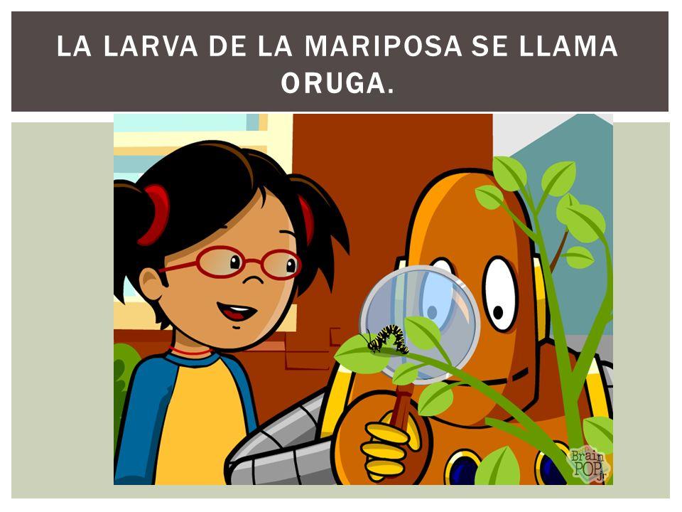 La larva de la mariposa se llama oruga.