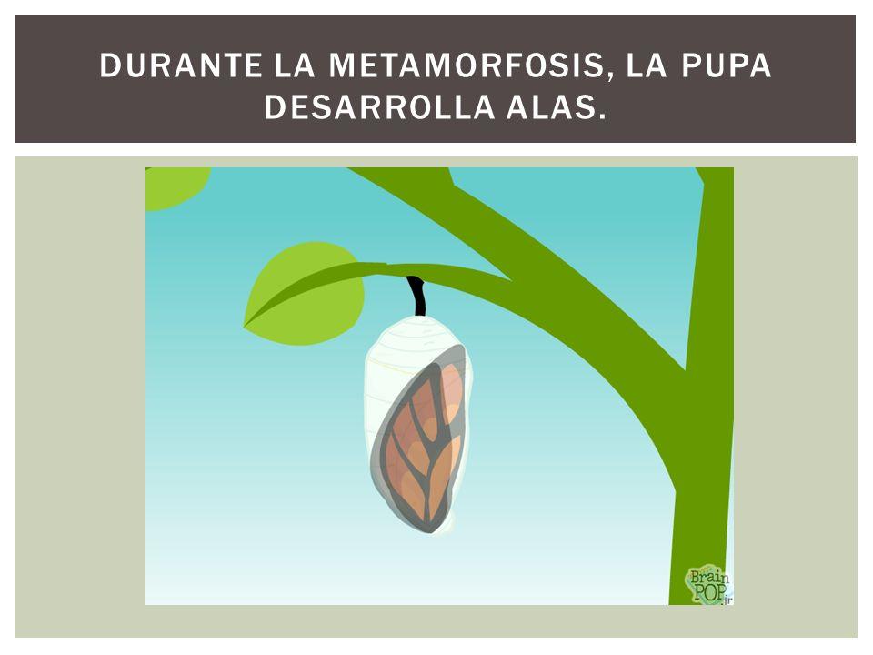 Durante la metamorfosis, la pupa desarrolla alas.