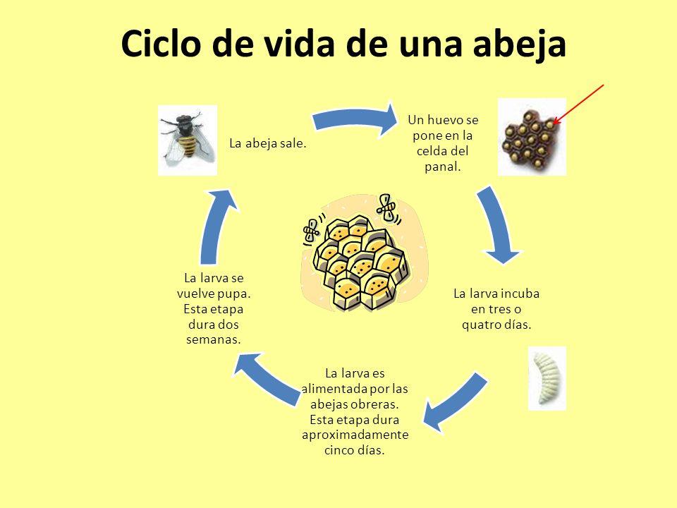 Ciclo de vida de una abeja