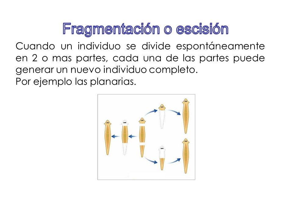 Fragmentación o escisión