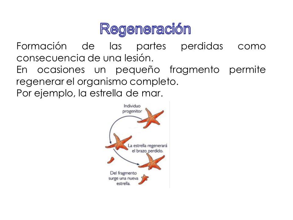 Regeneración Formación de las partes perdidas como consecuencia de una lesión.