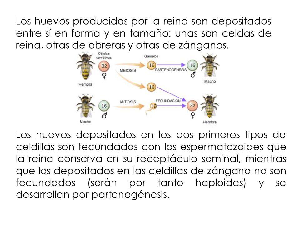 Los huevos producidos por la reina son depositados entre sí en forma y en tamaño: unas son celdas de reina, otras de obreras y otras de zánganos.