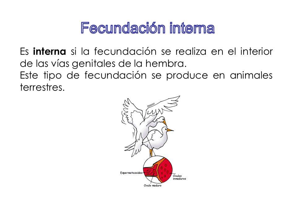 Fecundación interna Es interna si la fecundación se realiza en el interior de las vías genitales de la hembra.