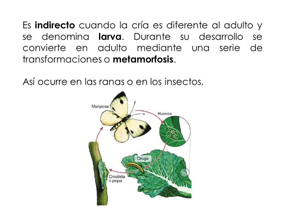 Es indirecto cuando la cría es diferente al adulto y se denomina larva