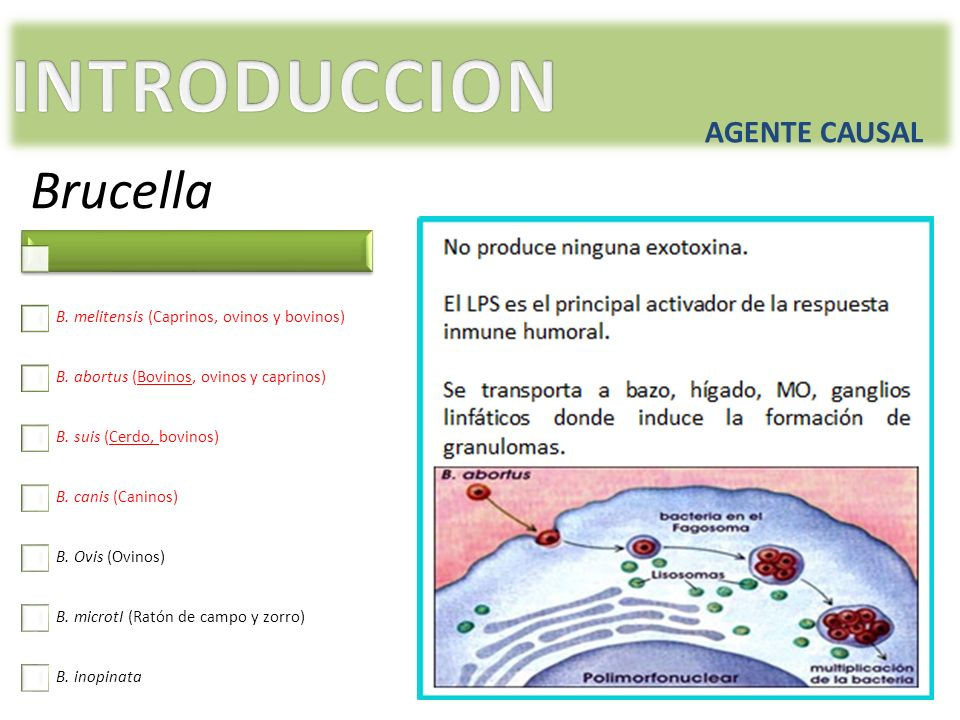 INTRODUCCION Brucella AGENTE CAUSAL
