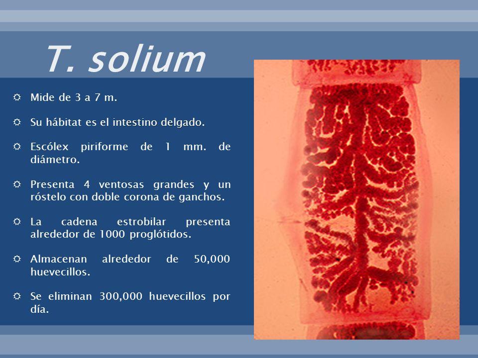 T. solium Mide de 3 a 7 m. Su hábitat es el intestino delgado.