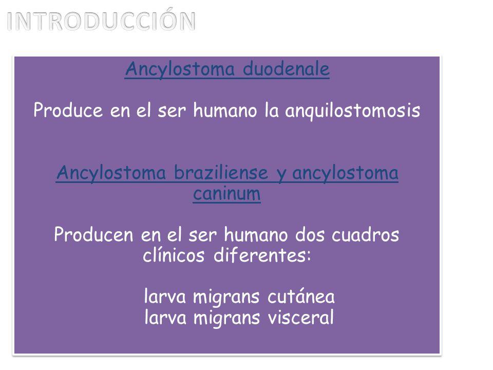 INTRODUCCIÓN Ancylostoma duodenale
