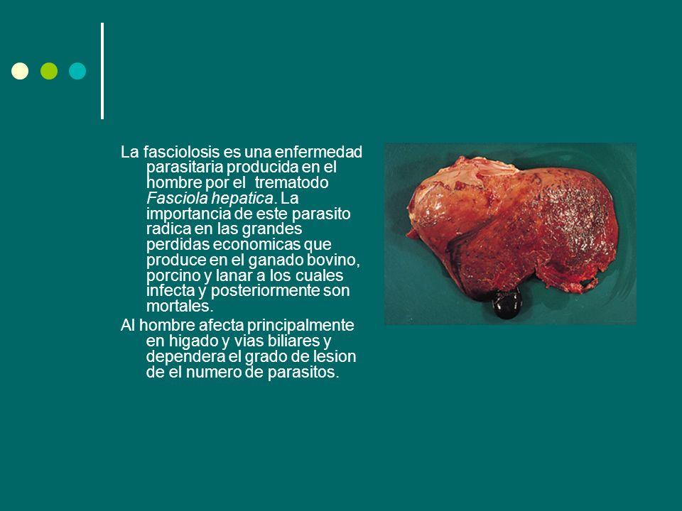 La fasciolosis es una enfermedad parasitaria producida en el hombre por el trematodo Fasciola hepatica. La importancia de este parasito radica en las grandes perdidas economicas que produce en el ganado bovino, porcino y lanar a los cuales infecta y posteriormente son mortales.