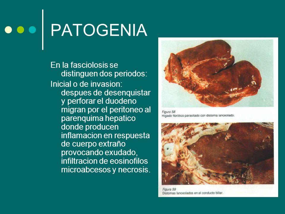 PATOGENIA En la fasciolosis se distinguen dos periodos: