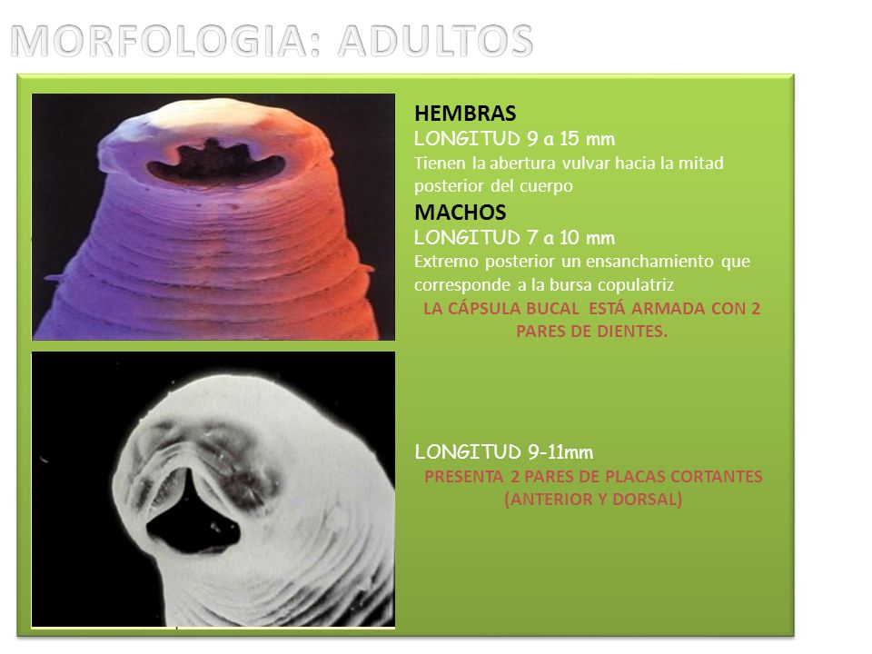 MORFOLOGIA: ADULTOS HEMBRAS MACHOS LONGITUD 9 a 15 mm