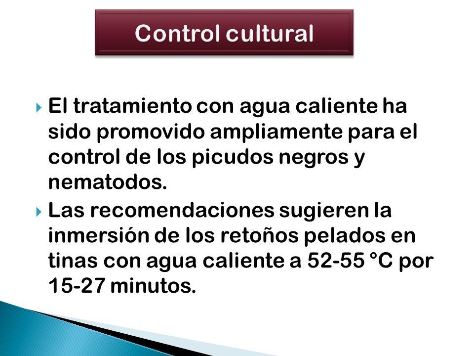 Control cultural El tratamiento con agua caliente ha sido promovido ampliamente para el control de los picudos negros y nematodos.