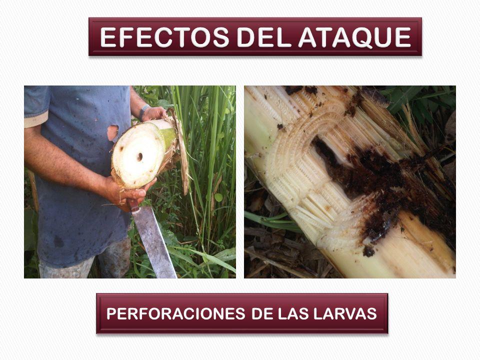 EFECTOS DEL ATAQUE PERFORACIONES DE LAS LARVAS