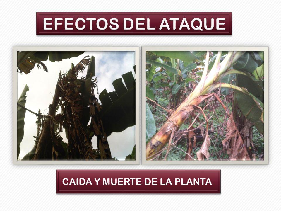 EFECTOS DEL ATAQUE CAIDA Y MUERTE DE LA PLANTA