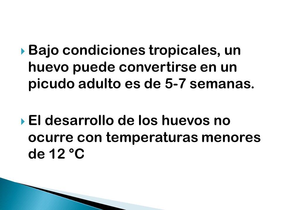 Bajo condiciones tropicales, un huevo puede convertirse en un picudo adulto es de 5-7 semanas.