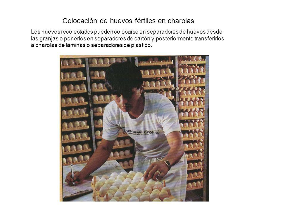 Colocación de huevos fértiles en charolas