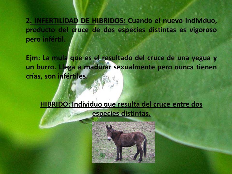 HIBRIDO: Individuo que resulta del cruce entre dos especies distintas.