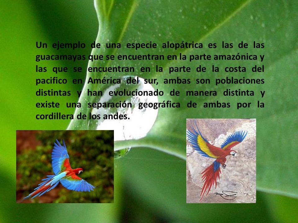 Un ejemplo de una especie alopátrica es las de las guacamayas que se encuentran en la parte amazónica y las que se encuentran en la parte de la costa del pacifico en América del sur, ambas son poblaciones distintas y han evolucionado de manera distinta y existe una separación geográfica de ambas por la cordillera de los andes.