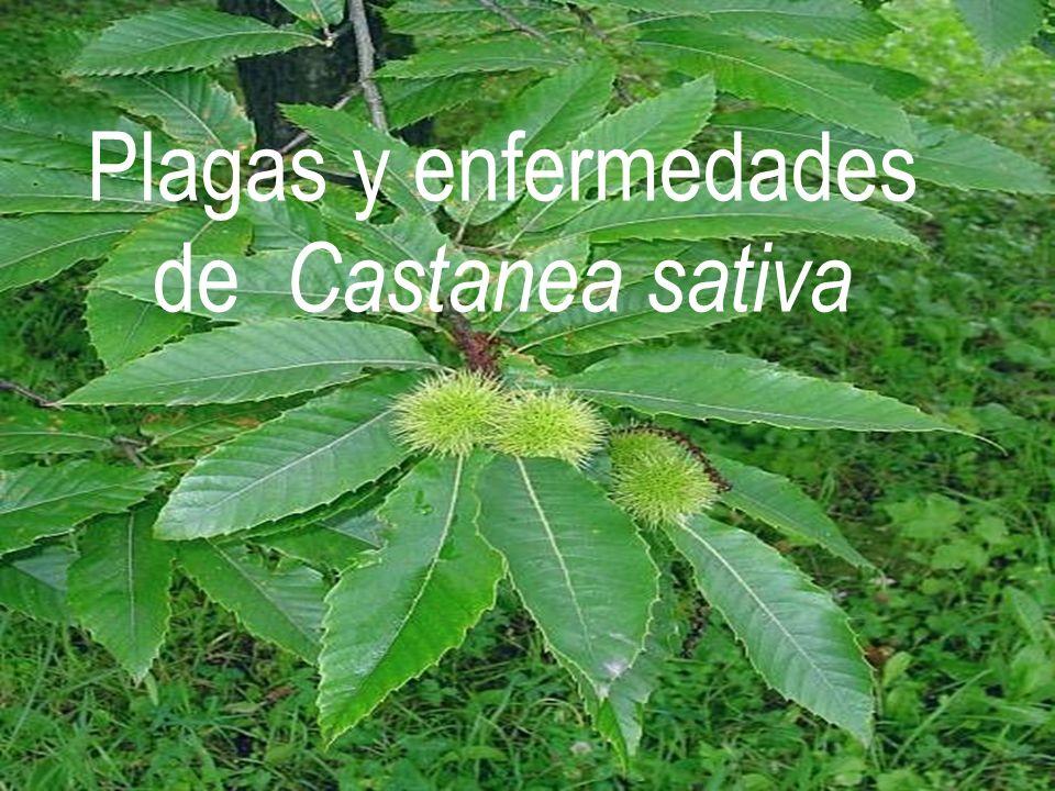 Plagas y enfermedades de Castanea sativa