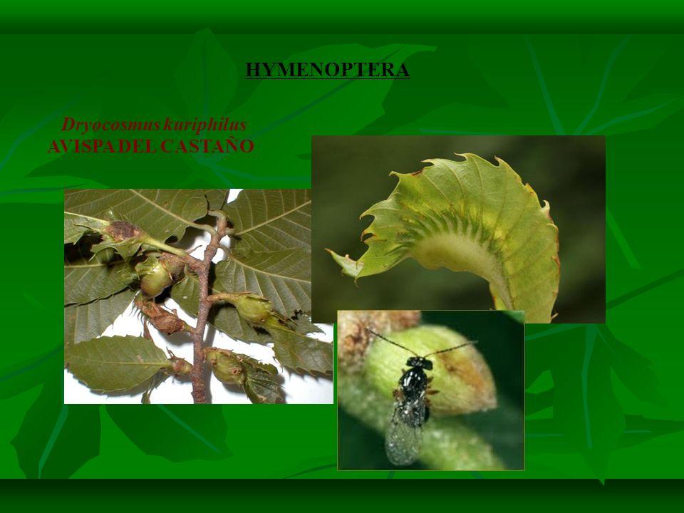 HYMENOPTERA Dryocosmus kuriphilus AVISPA DEL CASTAÑO 10
