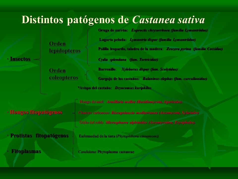 Distintos patógenos de Castanea sativa