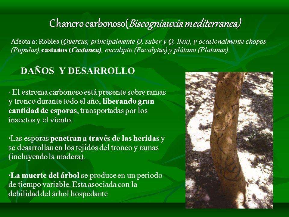 Chancro carbonoso(Biscogniauxia mediterranea)
