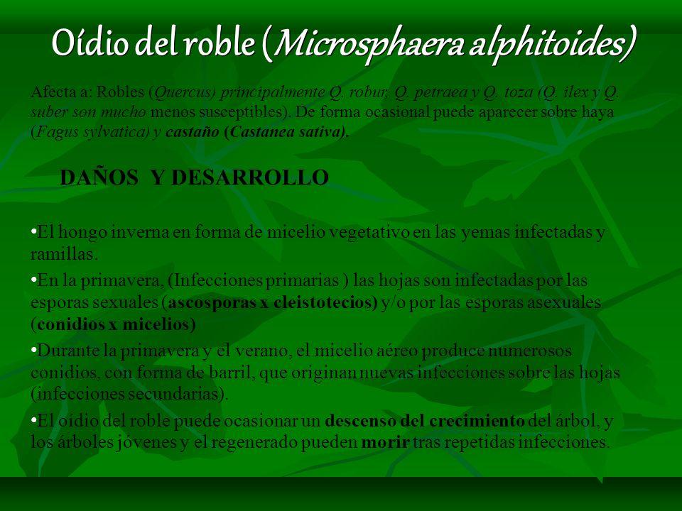 Oídio del roble (Microsphaera alphitoides)