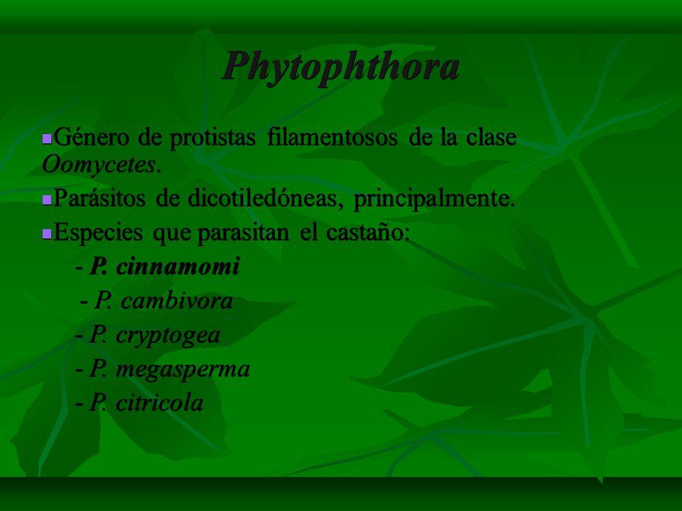 Phytophthora Género de protistas filamentosos de la clase Oomycetes.
