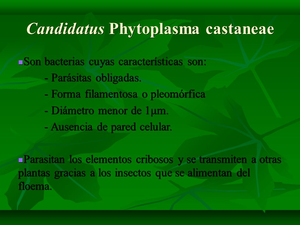 Candidatus Phytoplasma castaneae