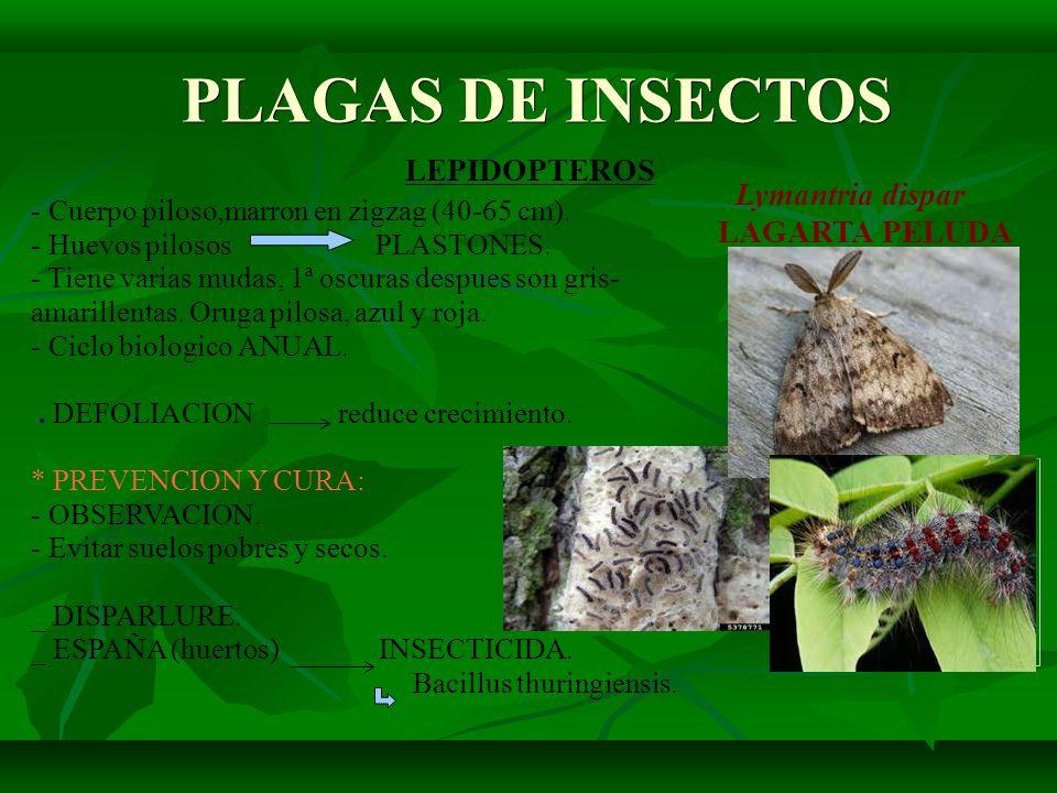 PLAGAS DE INSECTOS Lymantria dispar LEPIDOPTEROS LAGARTA PELUDA