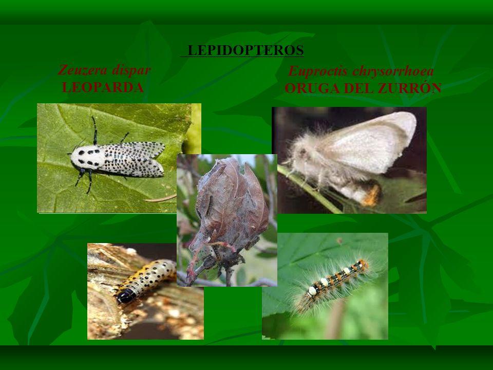 Euproctis chrysorrhoea ORUGA DEL ZURRÓN