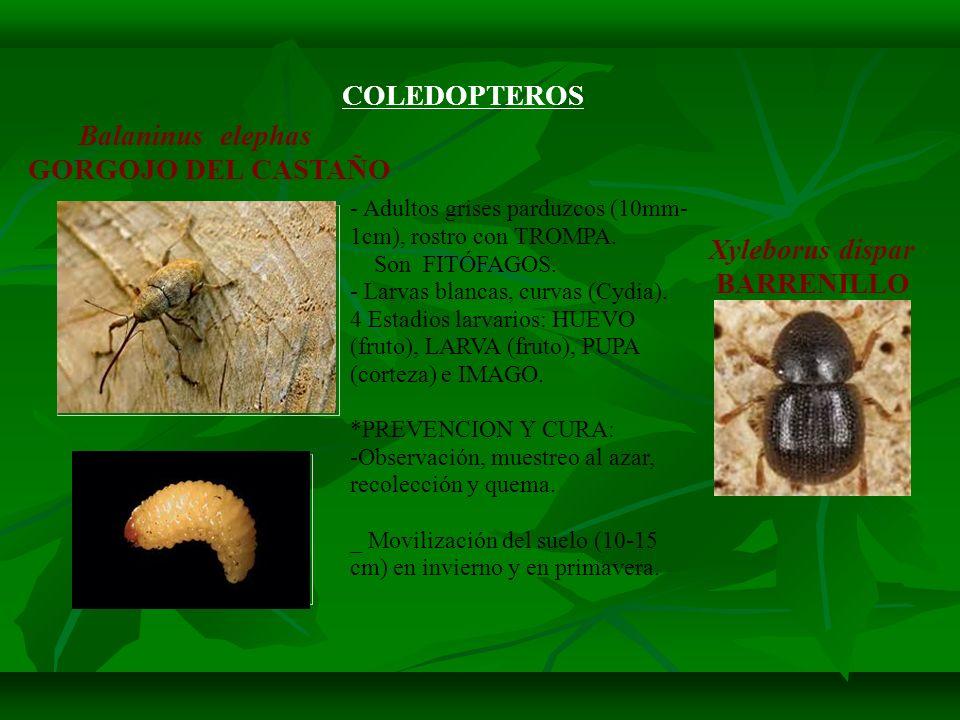 COLEDOPTEROS Balaninus elephas GORGOJO DEL CASTAÑO Xyleborus dispar