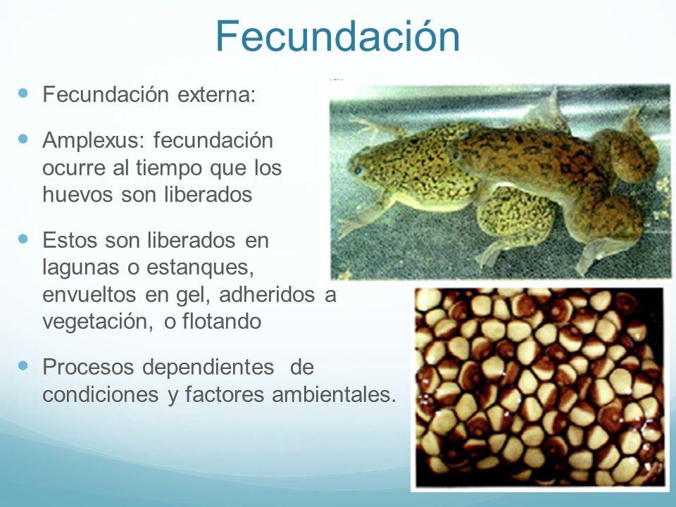 Fecundación Fecundación externa:
