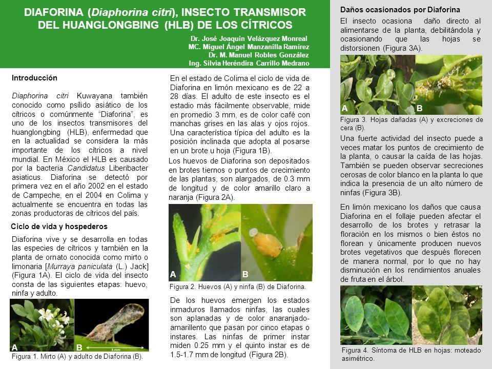 DIAFORINA (Diaphorina citri), INSECTO TRANSMISOR DEL HUANGLONGBING (HLB) DE LOS CÍTRICOS