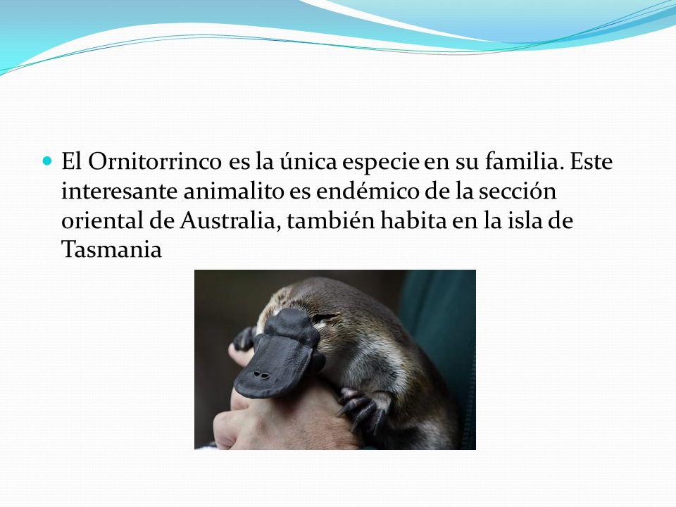 El Ornitorrinco es la única especie en su familia