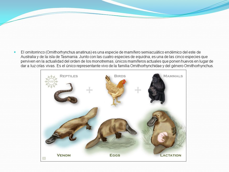 El ornitorrinco (Ornithorhynchus anatinus) es una especie de mamífero semiacuático endémico del este de Australia y de la isla de Tasmania.