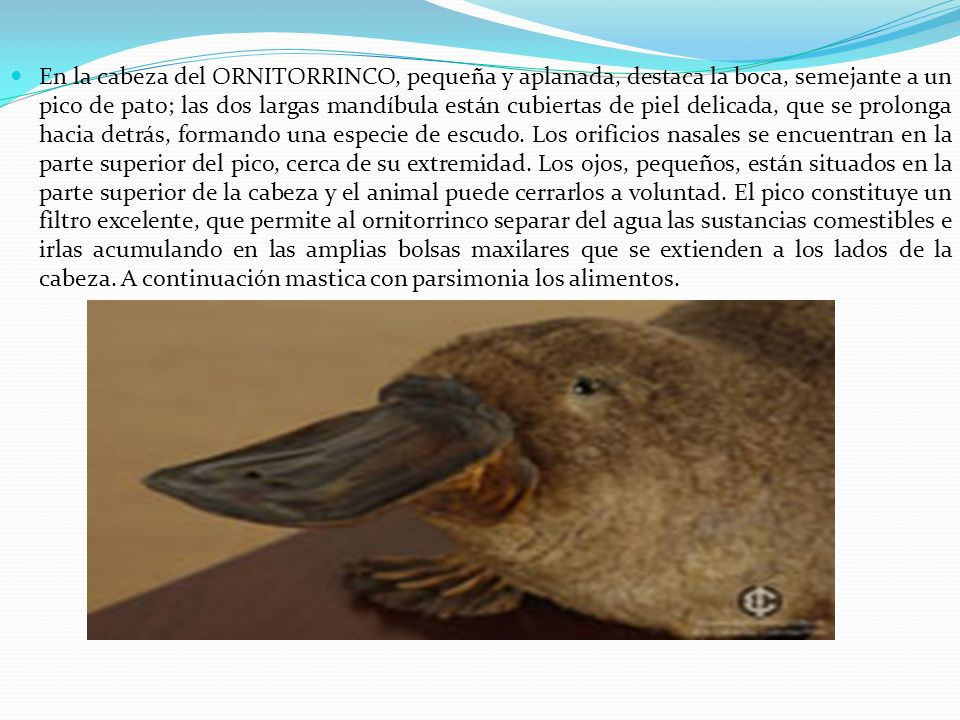 En la cabeza del ORNITORRINCO, pequeña y aplanada, destaca la boca, semejante a un pico de pato; las dos largas mandíbula están cubiertas de piel delicada, que se prolonga hacia detrás, formando una especie de escudo.