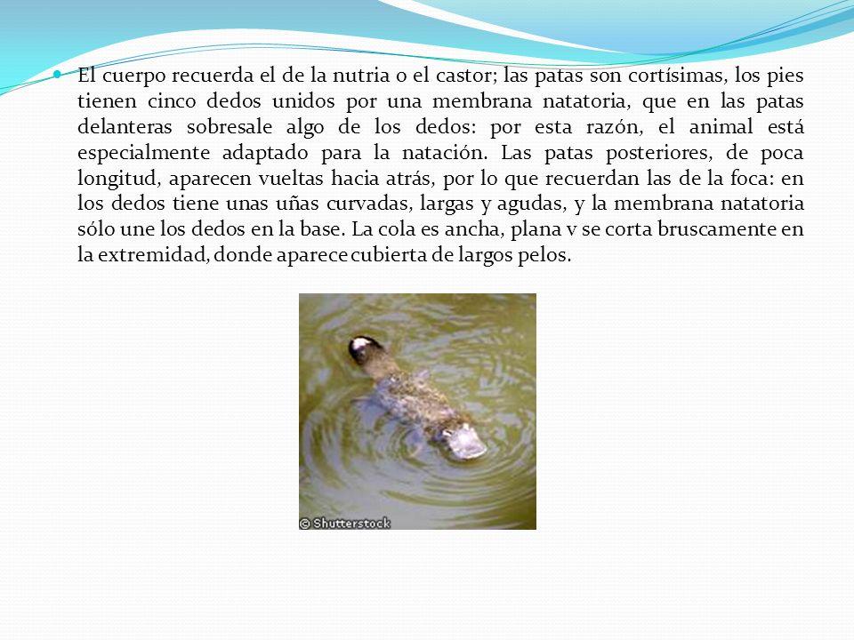 El cuerpo recuerda el de la nutria o el castor; las patas son cortísimas, los pies tienen cinco dedos unidos por una membrana natatoria, que en las patas delanteras sobresale algo de los dedos: por esta razón, el animal está especialmente adaptado para la natación.