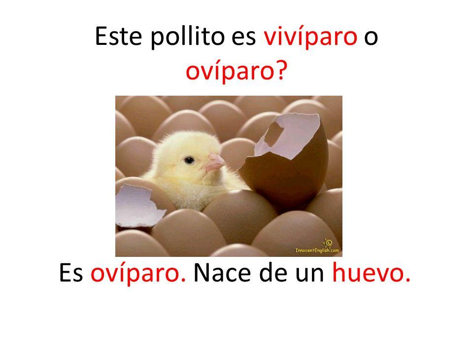 Es ovíparo. Nace de un huevo.