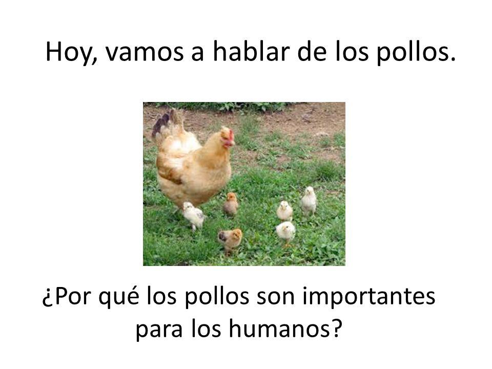 Hoy, vamos a hablar de los pollos.
