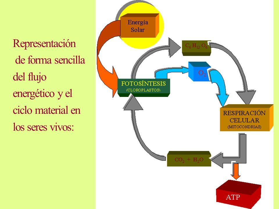 Representación de forma sencilla del flujo energético y el ciclo material en los seres vivos: