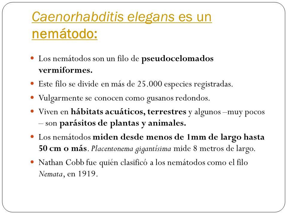 Caenorhabditis elegans es un nemátodo: