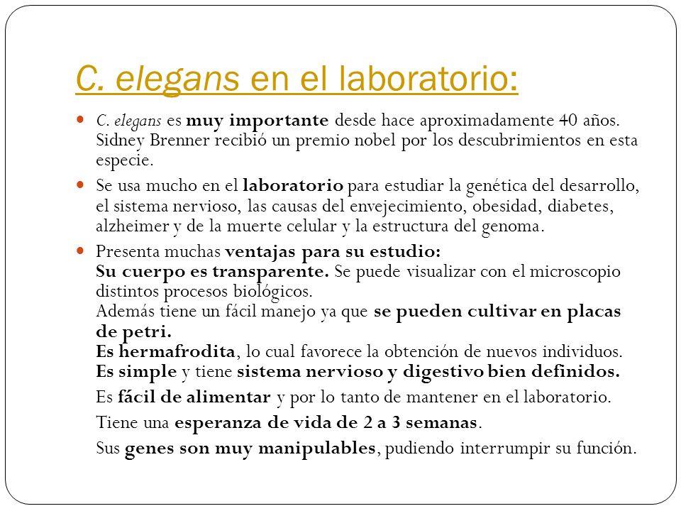 C. elegans en el laboratorio: